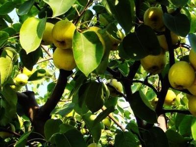 今天学校组织了秋游活动,去寻找秋天。经过两个小时漫长的坐车过程,总算是到了目的地。停车后同学们迅如闪电的速度跑下车,贪婪地呼吸着新鲜空气。过了一会儿才有心思观察周围的环境:在果园中,一眼望去,全是梨树。梨树上结满了一个个浸透着果农汗水的碧绿色窝梨,每个都散发着诱人的香气,带着微笑展示秋天那独一无二的风采。